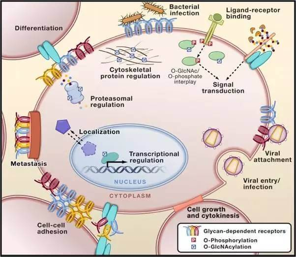 Glycoproteomics前沿研究分享
